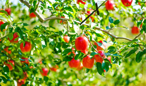 まるげん果樹園